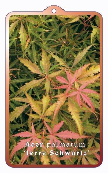 Acer palmatum 'Jerre Schwartz' - wjhooftman.nl