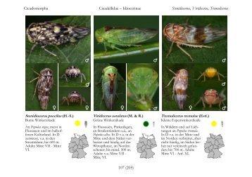 Page 1 Cicadomorpha Cicadellidae – Idiocerinae Stenidiocerus ...