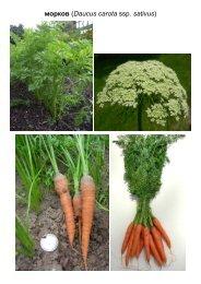 Carrot (Daucus carota ssp - Plantscafe.net