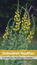 Dalmatian Toadflax - Center for Invasive Plant Management