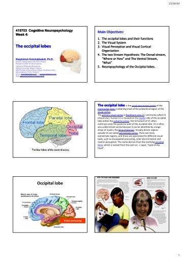 The occipital The occipital lobes Occipital lobe - Mahidol University
