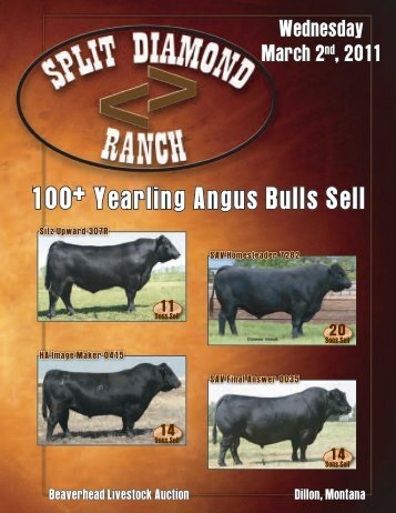 100+ Yearling Angus Bulls Sell - Split Diamond Ranch!