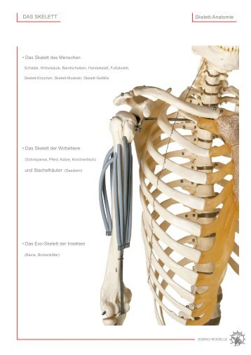 Skelett-Anatomie DAS SKELETT - SOMSO