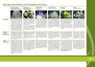 Wichtige Krankheiten und Schädlinge der Viola - Syngenta