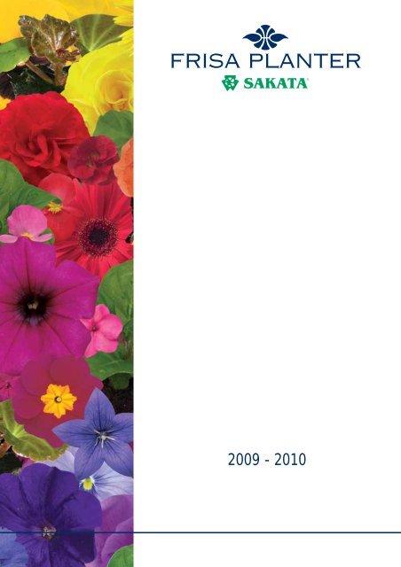 250 YELLOW DAISY Chrysanthemum Multicaule Mini Marguerite Flower Seeds *Comb S//H