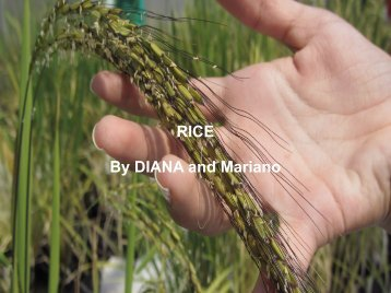 RICE By DIANA and Mariano