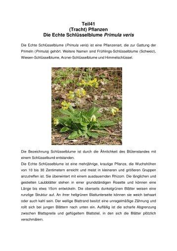 Teil41 (Tracht) Pflanzen Die Echte Schlüsselblume Primula veris