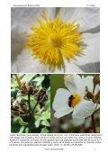 Cistus laurifolius (jara estepa). Arbusto de 1 a 2 m de ... - Aulados.net - Page 2