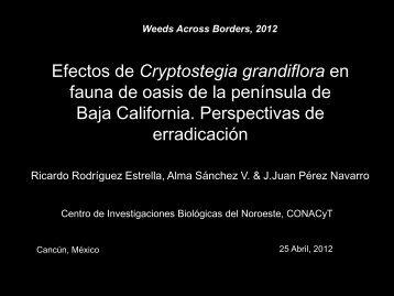 Cryptostegia grandiflora - Center for Invasive Plant Management