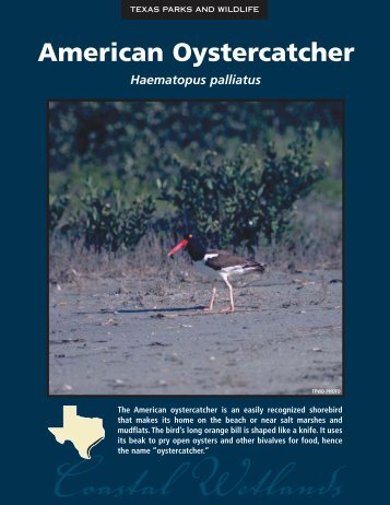 American Oystercatcher - The State of Water