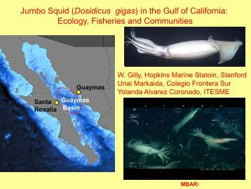 Jumbo Squid (Dosidicus gigas) in the Gulf of California: Ecology ...