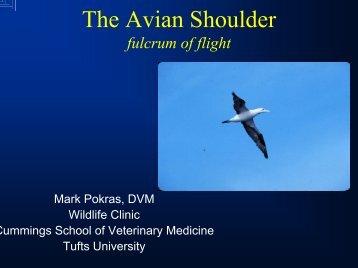The Avian Shoulder fulcrum of flight