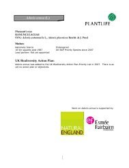 Adonis annua (L.) - Plantlife