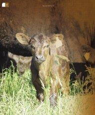 Nutrición correcta de vacas donantes - Asociación Argentina de Angus