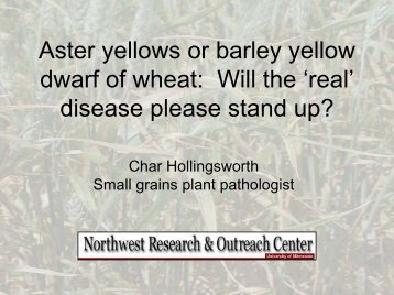 Aster yellows or barley yellow dwarf of wheat: Will the 'real' disease ...