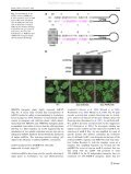 A new strategy for construction of artificial miRNA vectors in ... - Page 7