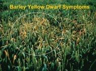 Barley Yellow Dwarf Symptoms.pdf
