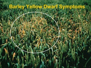 Barley Yellow Dwarf Symptoms.pdf