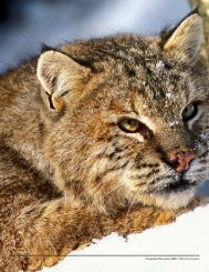Where the Wild Cat Roams - New Hampshire Fish and Game ...