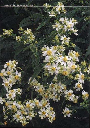 Margaritas de la nuboselva en el Arboretum Strybing