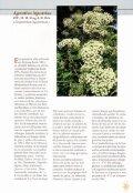 Margaritas de la nuboselva en el Arboretum Strybing - Page 4