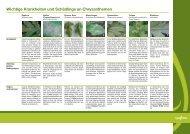 Wichtige Krankheiten und Schädlinge an Chrysanthemen - Syngenta