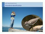 Shorebird Identification