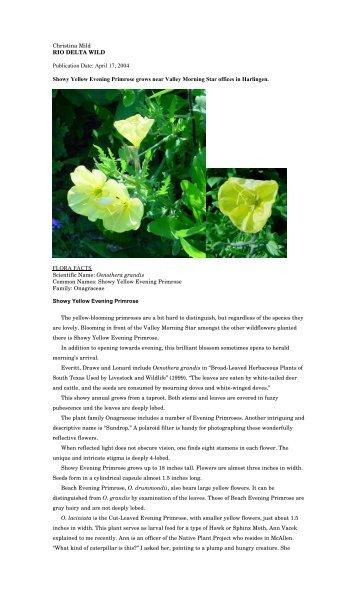 """Oenothera grandis - Christina Mild's """"Rio Delta Wild"""""""