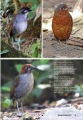 Antpitta Paradise: A 2010 Update - Neotropical Bird Club - Page 3