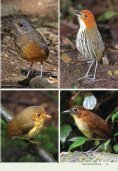 Antpitta Paradise: A 2010 Update - Neotropical Bird Club - Page 7