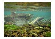 (参考資料)冷たい水に棲むサケの行方