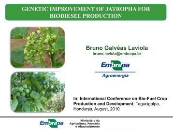Genetic Improvement of Jatropha for biodiesel production - Corpoica