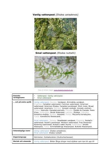 Smal vattenpest (Elodea nuttallii) - Främmande arter i svenska hav