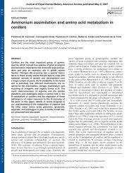 Ammonium assimilation and amino acid metabolism in conifers