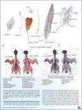 Osservazioni tecniche e scientifiche sul piumaggio degli uccelli. - Page 3