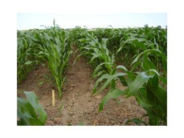 Resultat från årets ogräsförsök - majs