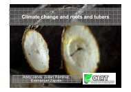 Jarvis, A.; Global impacts of climate change on root and tuber crops