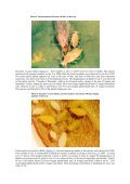 THE SPECIES COMPOSITION AND NUMBER OF APHIDS ON THE ... - Page 7