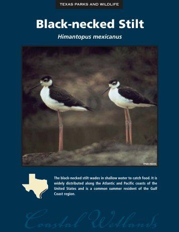 Black-necked Stilt - The State of Water