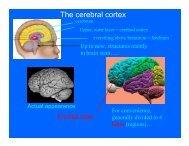 The cerebral cortex