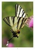 Denní motýli Jihomoravského kraje - 1 - Page 4