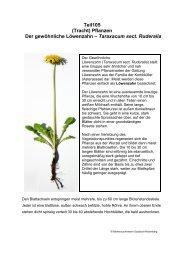 Pflanzen Der gewöhnliche Löwenzahn – Taraxacum sect. Ruderalia