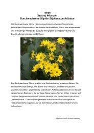 Teil96 (Tracht) Pflanzen Durchwachsene Silphie Silphium perfoliatum