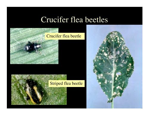 Flea Beetles