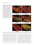 The schedule of destruction of three mitotic cyclins can dictate the ... - Page 4