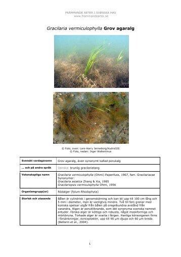 Gracilaria vermiculophylla - Främmande arter i svenska hav