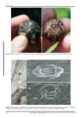 The genus Hexopetion Burret (Arecaceae) - Portal del Sistema de ... - Page 4