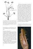 Amerikansk brakvandskrabbe - Page 4