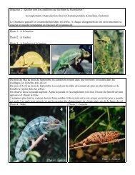 Accouplement et reproduction chez le Chamelo pardalis (Caméléon ...