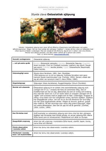 Styela clava Ostasiatisk sjöpung - Främmande arter i svenska hav